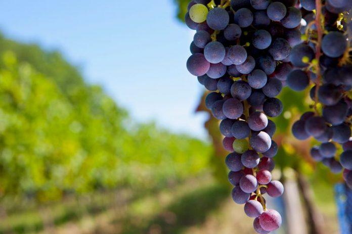 Πρέπει να ευχαριστήσουμε τις σφήκες για το κρασί;